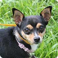 Adopt A Pet :: Lola - Tampa, FL