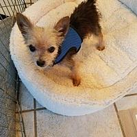 Adopt A Pet :: Peewee - Spring, TX