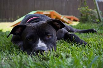 Boxer/Labrador Retriever Mix Dog for adoption in Sparta, New Jersey - Bella