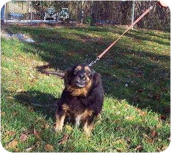 Dachshund/Cocker Spaniel Mix Dog for adoption in Bloomsburg, Pennsylvania - Mindy