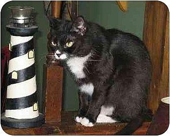 Domestic Shorthair Cat for adoption in Trexlertown, Pennsylvania - Nikki