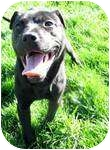 American Staffordshire Terrier Mix Dog for adoption in Warren, Michigan - William