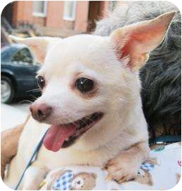 Chihuahua Dog for adoption in Old Bridge, New Jersey - Casper