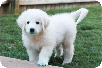 Great Pyrenees Puppy for adoption in Kyle, Texas - Prince William