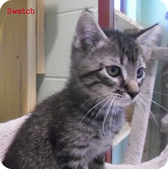 Domestic Mediumhair Kitten for adoption in Slidell, Louisiana - Swatch