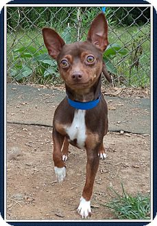 Chihuahua Dog for adoption in Marietta, Georgia - JAKE - adopted @ PS