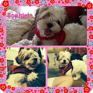 Maltese/Shih Tzu Mix Dog for adoption in San Diego, California - Sophie