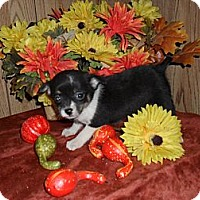 Adopt A Pet :: Dora - Chandlersville, OH