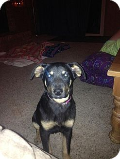 Shepherd (Unknown Type) Mix Dog for adoption in Wichita Falls, Texas - Isabelle