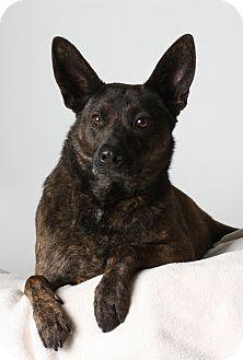 Shepherd (Unknown Type)/Pit Bull Terrier Mix Dog for adoption in Stockton, California - Shenzi