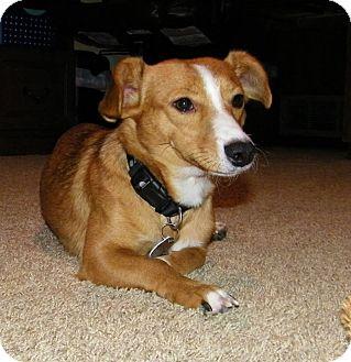 Cardigan Welsh Corgi/Dachshund Mix Dog for adoption in Snyder, Texas - Tally