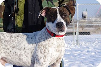 American Pit Bull Terrier Mix Dog for adoption in Elyria, Ohio - Charlie-Prison Graduate