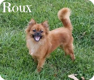 Pekingese/Pomeranian Mix Dog for adoption in Metairie, Louisiana - Roux