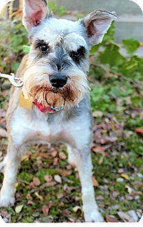 Miniature Schnauzer Dog for adoption in Sharonville, Ohio - Bindi
