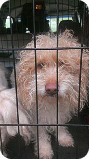Poodle (Standard) Mix Dog for adoption in Jarrell, Texas - Nikki