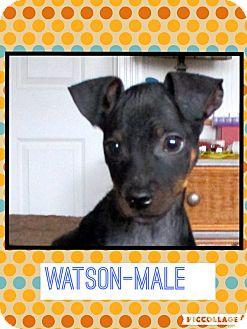 Miniature Pinscher Mix Puppy for adoption in Spring Valley, New York - Watson (etaa)