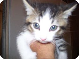 Domestic Shorthair Kitten for adoption in Grand Saline, Texas - Cherry