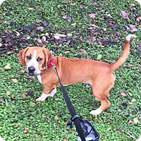 Adopt A Pet :: Flash - Jupiter, FL