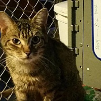Domestic Shorthair Kitten for adoption in Columbia, South Carolina - CK