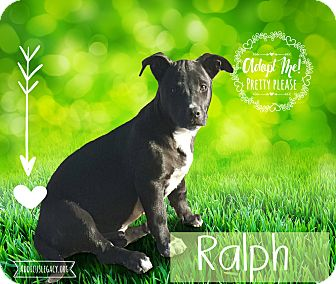 Dachshund/Beagle Mix Puppy for adoption in West Hartford, Connecticut - Ralph
