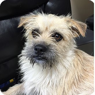 Terrier (Unknown Type, Small)/Cairn Terrier Mix Dog for adoption in Nanuet, New York - Taco