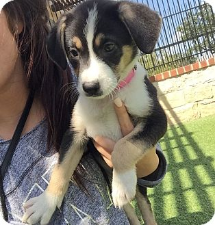Shepherd (Unknown Type)/Border Collie Mix Puppy for adoption in San Francisco, California - Talisa