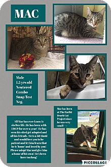 Domestic Shorthair Cat for adoption in CLEVELAND, Ohio - Mac