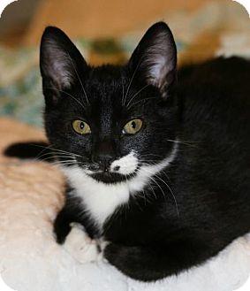 Domestic Shorthair Kitten for adoption in Buford, Georgia - Kona