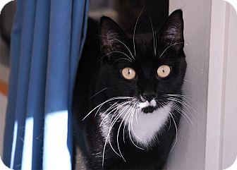 Domestic Shorthair Cat for adoption in Winchendon, Massachusetts - Dee