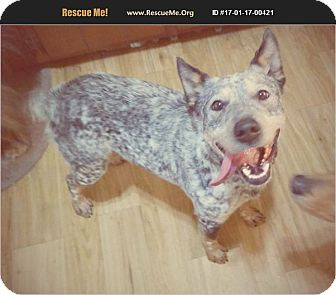 Blue Heeler Dog for adoption in Madison, Tennessee - Daisy - active & smart