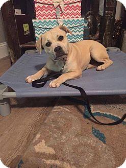 English Bulldog/Italian Greyhound Mix Puppy for adoption in Macon, Georgia - Haddie