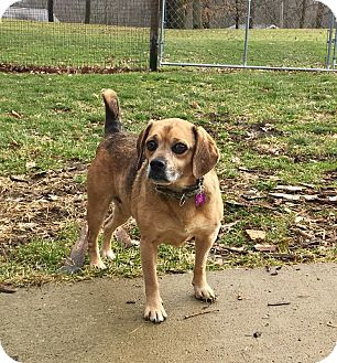 Pug/Beagle Mix Dog for adoption in Mentor, Ohio - WINNIE**6-8 yrs & 23 lbs!!