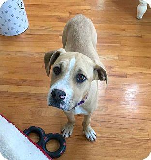 Hound (Unknown Type) Mix Puppy for adoption in Smithtown, New York - Blaze