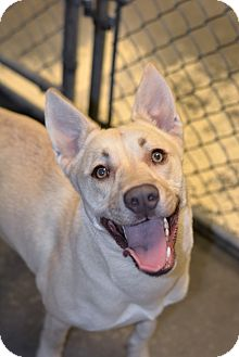 Husky/Labrador Retriever Mix Dog for adoption in Greensburg, Pennsylvania - Daisy
