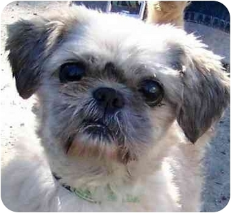 Shih Tzu/Lhasa Apso Mix Dog for adoption in Mays Landing, New Jersey - Oscar-NY