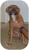 American Pit Bull Terrier Mix Puppy for adoption in Newington, Connecticut - Tank