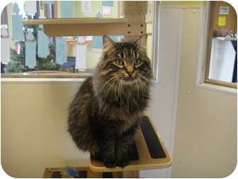 Domestic Longhair Cat for adoption in Barron, Wisconsin - Darla