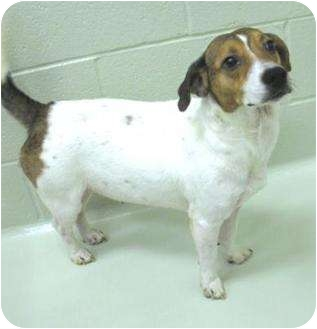 Jack Russell Terrier/Beagle Mix Dog for adoption in Buffalo, New York - Biscuit: 1 year