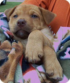 Australian Shepherd/Husky Mix Puppy for adoption in Olive Branch, Mississippi - Larry Loves You!