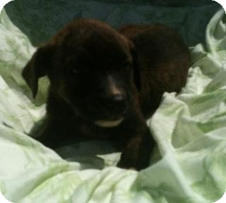 Pit Bull Terrier Mix Puppy for adoption in Hammond, Louisiana - Shelby