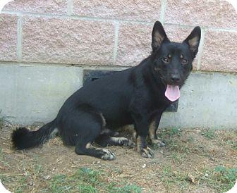 Cardigan Welsh Corgi/Basset Hound Mix Puppy for adoption in Watauga, Texas - Lo-Rida