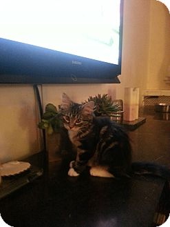 Maine Coon Kitten for adoption in New York, New York - Bow