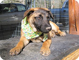 Black Mouth Cur/German Shepherd Dog Mix Puppy for adoption in Waller, Texas - Raven