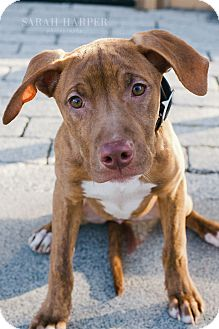 Pit Bull Terrier Mix Puppy for adoption in Reisterstown, Maryland - Ruby Red