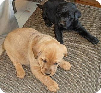 Labrador Retriever Mix Puppy for adoption in Chicago, Illinois - Lab puppies!