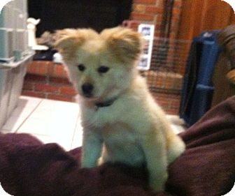 Pomeranian Mix Puppy for adoption in Pickerington, Ohio - Butterscotch