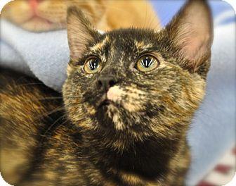 Domestic Shorthair Kitten for adoption in Great Falls, Montana - Karma