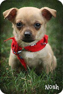 Chihuahua/Pug Mix Puppy for adoption in Cranford, New Jersey - Noah