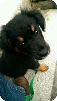 Shepherd (Unknown Type) Mix Puppy for adoption in Stafford Springs, Connecticut - Jodie Benn