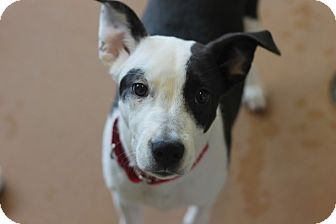 Labrador Retriever/Border Collie Mix Puppy for adoption in Chicago, Illinois - Donia